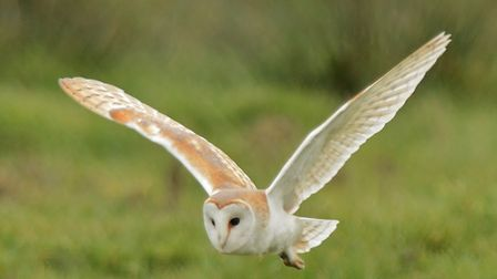 An owl flying out in the early evening light, Norfolk.