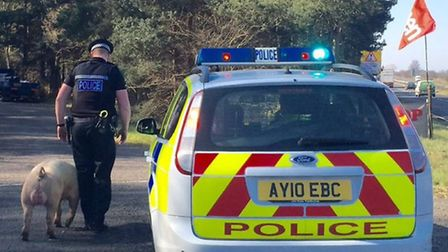 A pig was causing problems on the A11 at Thetford this morning.