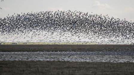 Scenes from the Wader Spectacular at RSPB Snettisham. Picture: Matthew Usher.