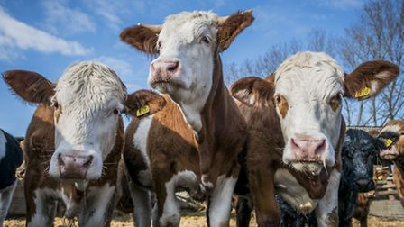 Some of Peter Howell's beef cattle. Picture: Matthew Usher.