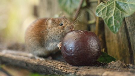 A bank vole photo from Sarah Darnell, an amateur wildlife photographer from Norfolk, who has been aw