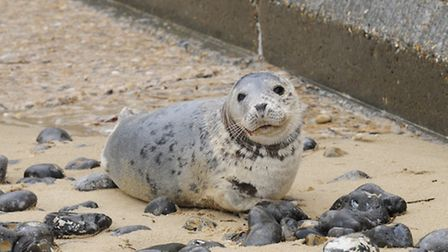 The injured seal washed up on Cromer beach by the pier.Picture: MARK BULLIMORE