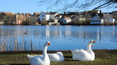 Diss Mere is a popular spot for people and birds and has provided a home for many species of birds,