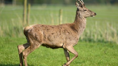 A young stag who has found a home in a field full of sheep in Tuttington.Picture: ANTONY KELLY