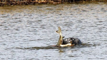 Clive Eaton captured this photo of a seal with a pike in its mouth on the River Bure. Picture: Clive