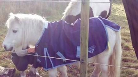 Scrumpy the pony was stolen from his field in Reepham. Picture: Supplied