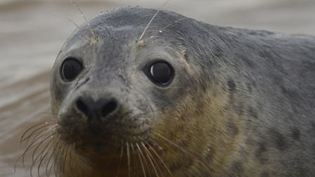 Seven seals rescued by Hunstanton's Sealife Sanctuary, were released back into the wild on the beach