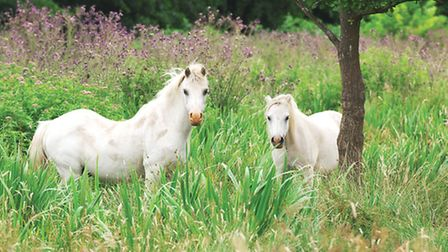 Wild ponies on the Norfolk Broads. Picture: Julian Claxton