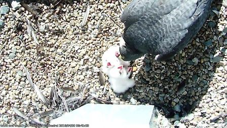 All four peregrine falcon chicks at Norwich Cathedral have now hatched. Pic: Hawk And Owl Trust.
