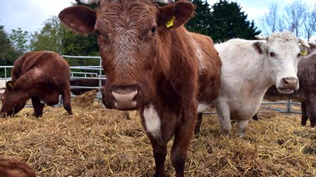 Granger Harrison and his daughter Esme have a herd of rare Dairy Shorthorn cows at Field Farm in Lak