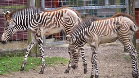 Zebra foals pictured at Banham Zoo. Some are being held privately in Norfolk.