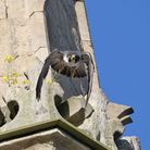 xxx_Peregrine by Andy Thompson_Picture.Andy Thompson