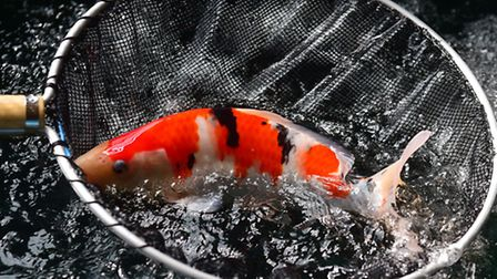 Homersfield Lake will host a Koi Masterclass conference with three top Japanese breeders giving lect