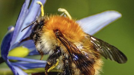 Common carder bee photographed by David Podmore in Amersham, Buckinghamshire and submitted to the Gr