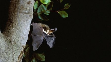 A Pipistrelle and a brown long-eared bat. The pipistrelle is the most common UK bat and the smallest
