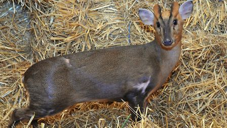 A Muntjac deer similar to the one which attacked. Picture by SIMON FINLAY.