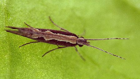 Diamondback moth_Picture.Rothamsted Research.