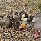 Gregory the goose, who has been killed by a stray dog. Picture: Terry Large