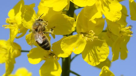 A bee on an oilseed rape flower near Alby. Picture: MARK BULLIMORE