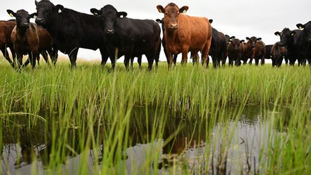 Beef cattle on grazing land at Berney Marshes. Picture: James Bass