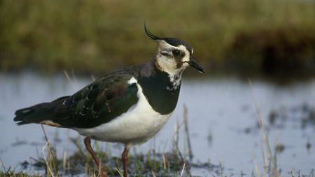 An adult lapwing. Picture: RSPB