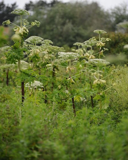 Giant Hogweed which is growing along Water Lane in West Runton.Picture: MARK BULLIMORE