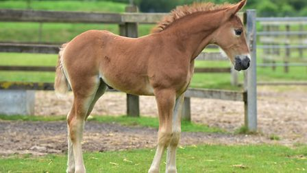 A Suffolk Punch foal was born recently at Banham Zoo.Charity the foal is pictured in the paddock she