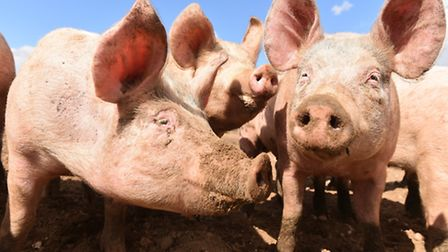 Free range pigs at Blythburgh. Picture: James Bass