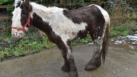 Cookie when she was rescued in January by Redwings Animal Sanctuary and the RSPCA. Picture: Submitte