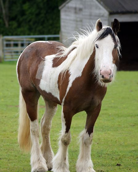 Cookie now at a Redwings Horse Sanctuary. Picture: Submitted.