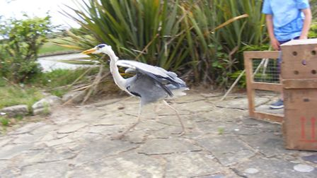 Alan the heron takes his first tentative steps on release.