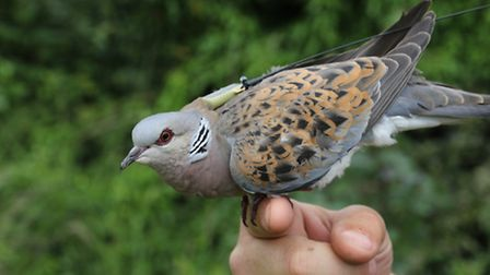 One of the six turtle doves which are being tracked by the RSPB. Picture: RSPB.