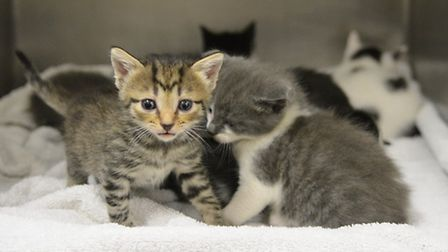 A litter of 12 kittens has been found abandoned near King's Lynn. Picture: Chris Bishop