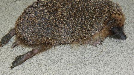 The hedgehog after it was taken to the East Winch Wildlife Centre. Picture: RSPCA