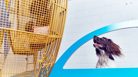 'Cruising Canines' being enjoyed by a springer spaniel – an open car window simulator where a giant