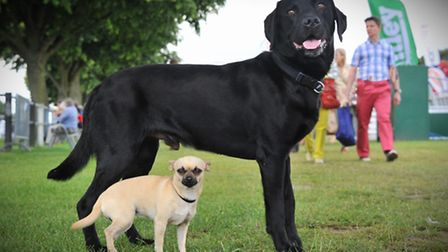 Royal Norfolk Show 2014. Big dog, Esua and little dog Pixi at the show.Photo by Simon Finlay.