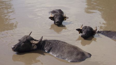 The herd of water buffalo managed by west Norfolk farmer Edward Pope. Picture: Submitted