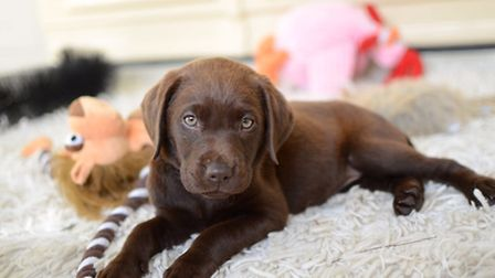 Diasy the Labrador, who lives with her owner in Rickinghall, will star in a national advert. Picture