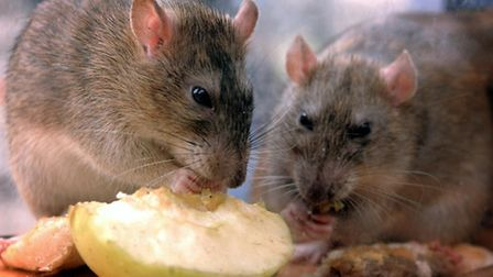Rats eating discarded food. Picture: KIRSTY WIGGLESWORTH