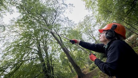 Looking up, ranger Mary Ghullam as she helps collect the seeds. Picture: NATIONAL TRUST IMAGES/MATTH