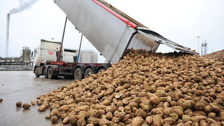 Sugar beet being unloaded at the Cantley sugar factory in January 2105. Picture: James Bass