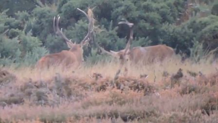 Red deer stags at RSPB Minsmere.