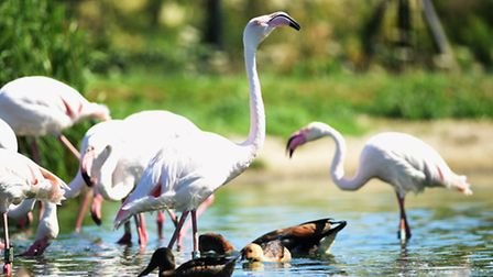 Flamingos at Pensthorpe Nature Reserve keeping cool in the water. Picture: Ian Burt