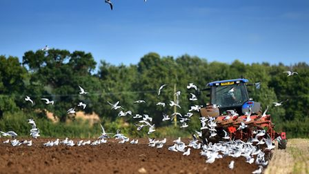 Gulls following a tractor as it ploughs a field near Barton Turf.Picture: ANTONY KELLY