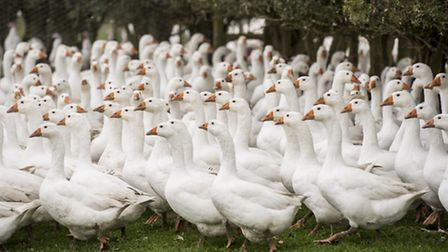 Geese. Picture: Matthew Usher