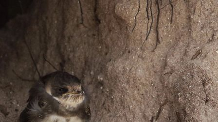 A Sand Martin yet to fledge, looking out on the world. By @timoakes