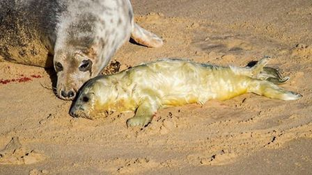 A Norfolk photographer witnessed the birth of a seal pup on Horsey Beach Picture: Clive Eaton @Clive
