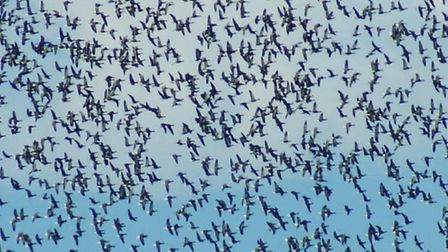 Several thousand Brent Geese in a flock over the Salt marsh by @the_old_bakery
