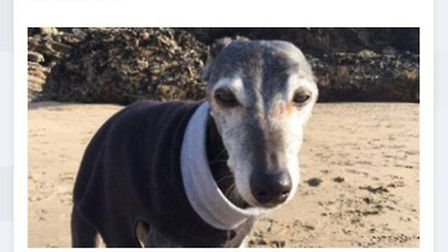 Walnut the Whippet enjoyed a last walk on his favourite beach in Cornwall