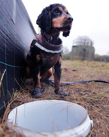 Rocky the Dog that sniffs out Great Crested Newt for Anglian Water. Photo by Tim George for Anglian